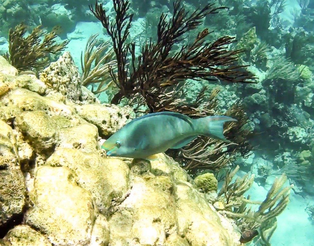 Parrot fish eating reef